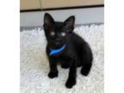 Adopt Astro a All Black Domestic Shorthair / Domestic Shorthair / Mixed cat in