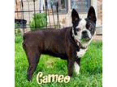 Adopt Cameo a Black - with White Boston Terrier / Mixed dog in Windsor