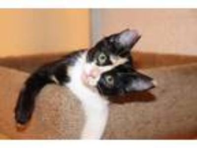 Adopt Lacey a Calico