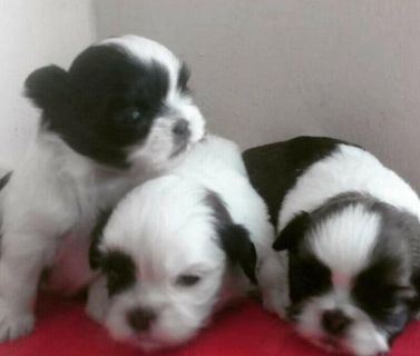 1 Male Poodle x Shitzu/Maltese