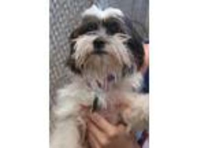 Adopt Curie a Shih Tzu / Mixed dog in Quakertown, PA (25340839)