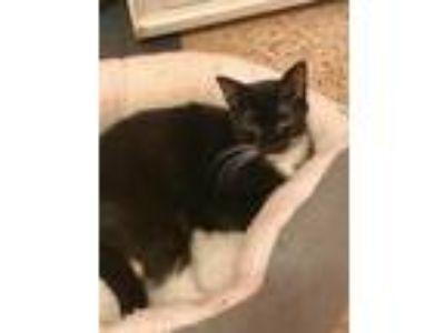 Adopt Phillis a Black & White or Tuxedo Domestic Shorthair (short coat) cat in