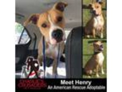 Adopt Henry a Boxer