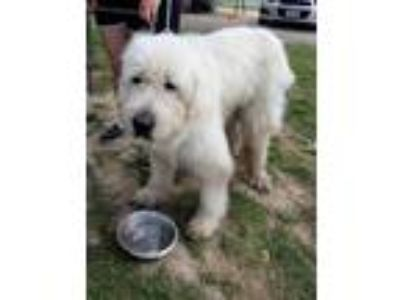 Adopt Mr Bentley a White Great Pyrenees / Old English Sheepdog / Mixed dog in