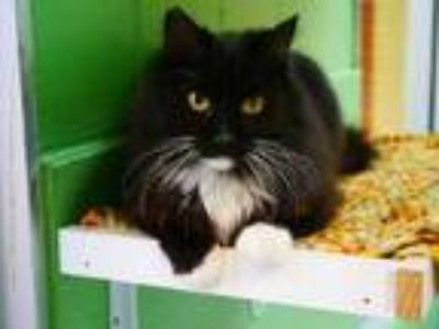 Adopt Fluffy socks a All Black Domestic Mediumhair / Domestic Shorthair / Mixed