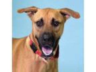 Adopt Titus a Brown/Chocolate Black Mouth Cur / Mixed dog in New Smyrna Beach