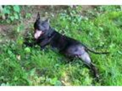 Adopt DILLY a Staffordshire Bull Terrier, Mixed Breed