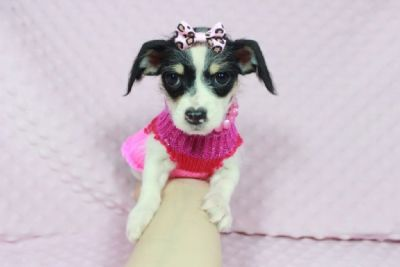 Teacup Chihuahua mix Puppies available for your Christmas gift !