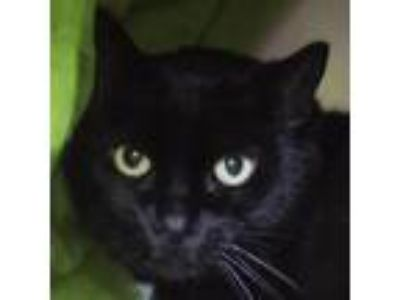 Adopt Toby a All Black Domestic Shorthair cat in Middletown, RI (25648099)