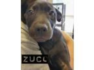 Adopt Zucco a Black Labrador Retriever / Mixed dog in Middletown, NY (25578508)