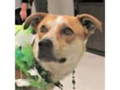 Adopt Goldie a Australian Cattle Dog / Blue Heeler, Terrier