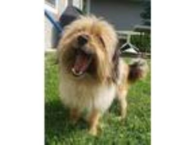 Adopt Buzz a Yorkshire Terrier