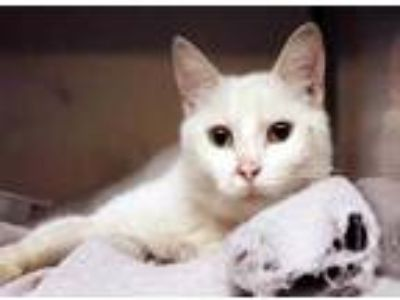 Adopt Jasmine a White Domestic Shorthair / Domestic Shorthair / Mixed cat in