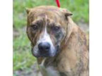 Adopt Georgia a Brindle American Pit Bull Terrier / Mixed Breed (Large) / Mixed