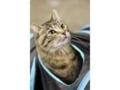 Adopt Lexi a Domestic Short Hair