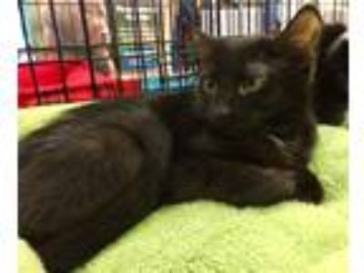 Adopt Precious a Black (Mostly) Domestic Shorthair (short coat) cat in Smyrna