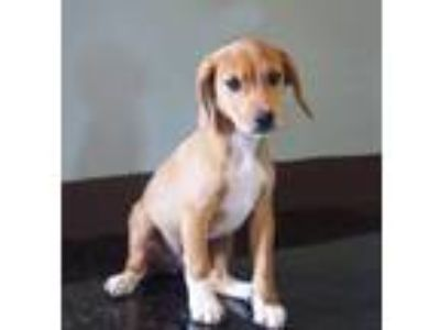 Adopt Diesel a Tan/Yellow/Fawn - with White Beagle / Mixed dog in Carrollton
