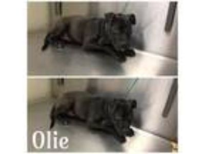 Adopt Olie a Pit Bull Terrier