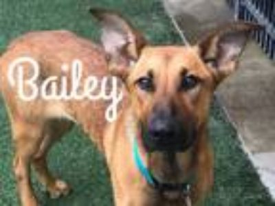 Adopt Bailey a German Shepherd Dog