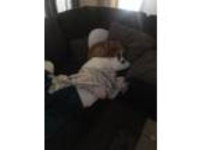 Adopt Sawyer a Tan/Yellow/Fawn Labrador Retriever / Australian Cattle Dog /
