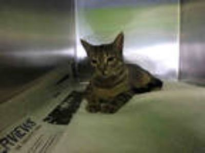 Adopt KEVIN WADE a Brown Tabby Domestic Shorthair / Mixed (short coat) cat in
