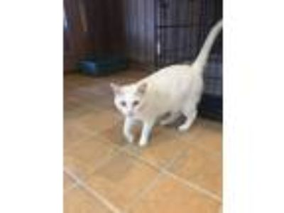 Adopt Benny a White Domestic Shorthair (short coat) cat in Bedford Hills