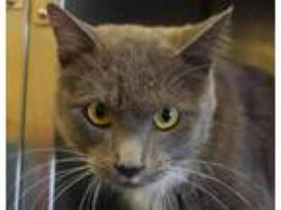 Adopt Drei a Domestic Shorthair / Mixed cat in Cookeville, TN (25332420)