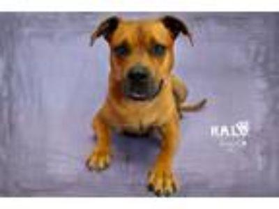Adopt Marley a Labrador Retriever / Black Mouth Cur / Mixed dog in Sebastian