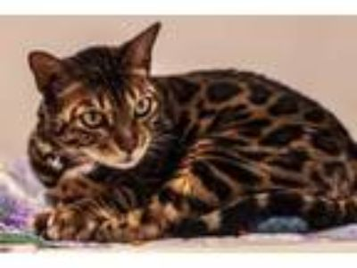 Adopt Mclaren a Brown or Chocolate Bengal / Mixed cat in Bellevue, WA (25391134)