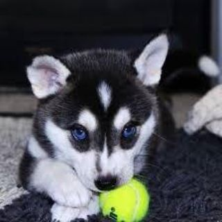 In search of a Husky puppy