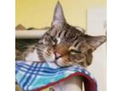 Adopt Colorado a Brown Tabby Domestic Shorthair / Mixed cat in Arlington