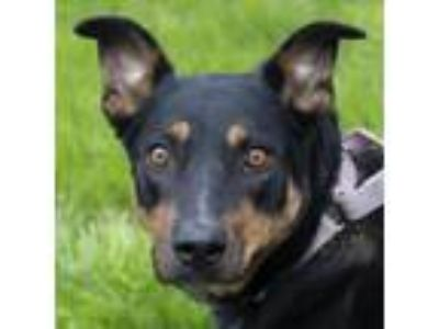 Adopt Shiloh a Black Cattle Dog / German Shepherd Dog dog in Middletown