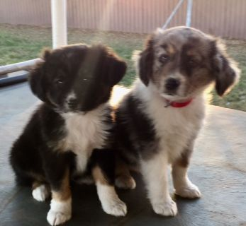 Mini Australian Shepard Puppies