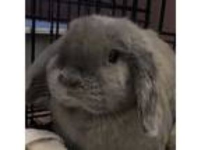Adopt Violet a Blue Lop-Eared / Mixed (short coat) rabbit in Los Angeles