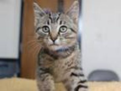 Adopt CURTIS a Domestic Short Hair