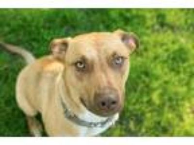 Adopt O'Neil a German Pinscher, Mixed Breed
