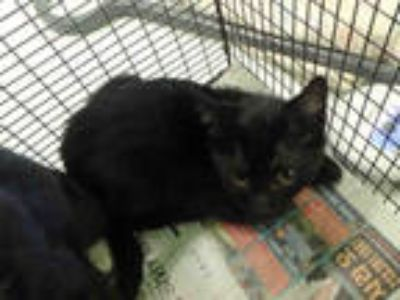 Adopt CATO 3 a All Black Domestic Longhair / Mixed (long coat) cat in Los