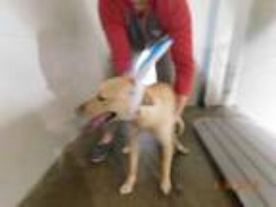 Adopt Marley a Tan/Yellow/Fawn Labrador Retriever / Mixed dog in Osceola