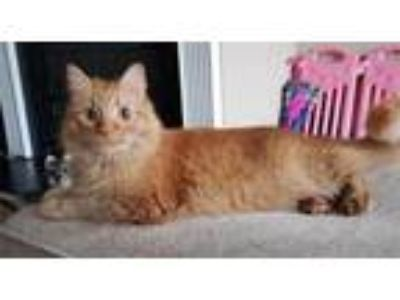 Adopt Yugi a Orange or Red Domestic Longhair / Domestic Shorthair / Mixed cat in