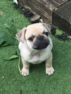 Pug X French Bulldogs Both Parents Health Tested +18059917625