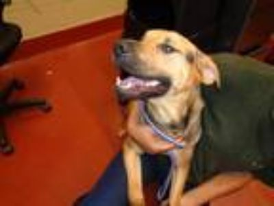 Adopt Scout a Brown/Chocolate German Shepherd Dog / Coonhound dog in