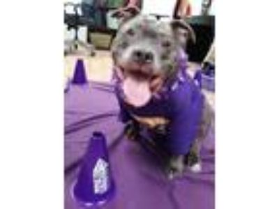 Adopt Sophie a Gray/Blue/Silver/Salt & Pepper Mixed Breed (Large) / Mixed dog in