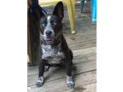Adopt Luna a Australian Cattle Dog / Blue Heeler
