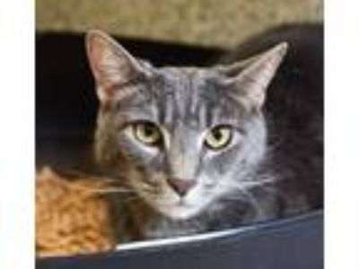 Adopt Little Dude a Gray, Blue or Silver Tabby Domestic Shorthair (short coat)