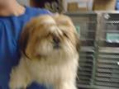 Adopt Chip a Shih Tzu / Mixed dog in Raleigh, NC (25266747)