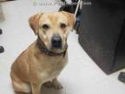 Adopt CHIPPER a Red/Golden/Orange/Chestnut Labrador Retriever / Mixed dog in