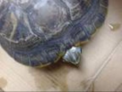 Adopt CHESTER a Turtle