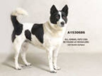 Adopt Dog a White - with Black Border Collie / Mixed dog in Jurupa Valley