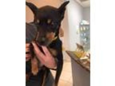 Adopt Micah a Black - with Tan, Yellow or Fawn Miniature Pinscher / Mixed dog in