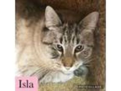 Adopt Isla a Siamese, Domestic Short Hair
